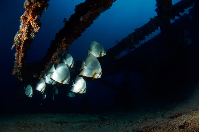 AAW400030U © Stocktrek Images, Inc. Batfishes swimming around a shipwreck in Anilao, Philippines.