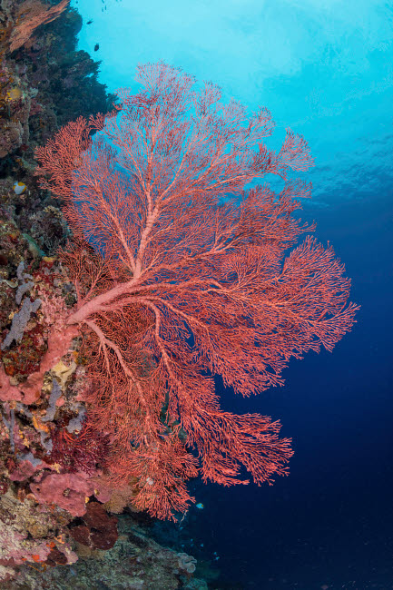 ACE400003U © Stocktrek Images, Inc. Very large sea fan, Maratua, Indonesia.