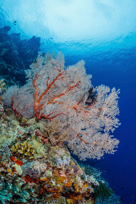ACE400004U © Stocktrek Images, Inc. Very large sea fan, Maratua, Indonesia.