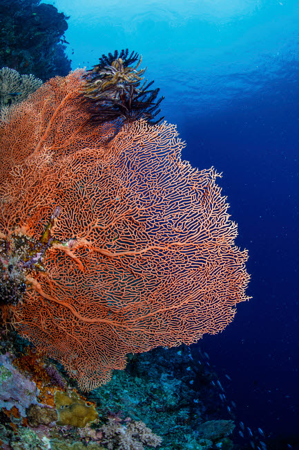 ACE400005U © Stocktrek Images, Inc. Very large sea fan, Maratua, Indonesia.