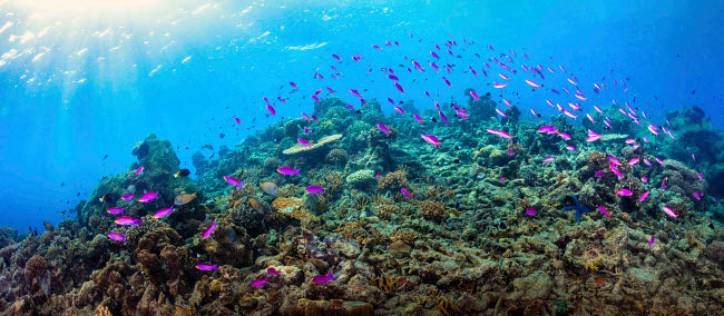 ACE400008U © Stocktrek Images, Inc. Fusilier fish swimming the reefs of Maratua, Indonesia.