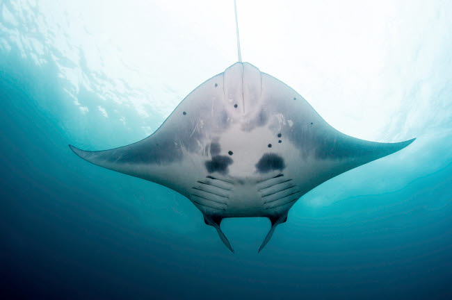 ACE400025U © Stocktrek Images, Inc. Belly view of a reef manta ray, Nusa Penida, Indonesia.