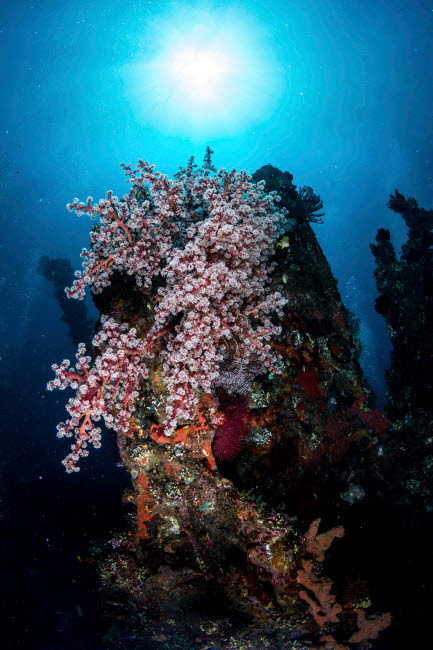 ACE400031U © Stocktrek Images, Inc. Colony of soft corals on the USS Liberty wreck, Tulamben, Indonesia.