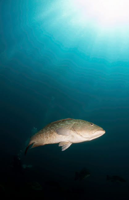 ACE400059U © Stocktrek Images, Inc. Portrait of a gulf grouper, Cabo Pulmo, Mexico.