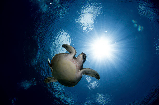 ACE400074U © Stocktrek Images, Inc. Green sea turtle in the waters of the Maldives.