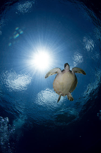 ACE400075U © Stocktrek Images, Inc. Green sea turtle in the waters of the Maldives.