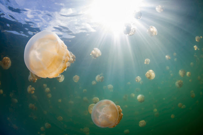 ACE400094U © Stocktrek Images, Inc. Group of golden jellyfish in Jellyfish Lake, Palau.