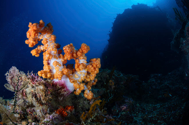ACE400126U © Stocktrek Images, Inc. Soft corals on the reefs of Mabul, Malaysia.