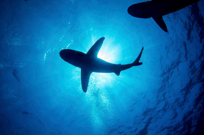 BBA400054U © Stocktrek Images, Inc. Silhouette of an oceanic whitetip shark with rays of light shining through.