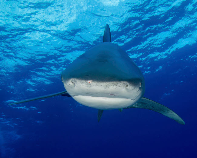 BBA400190U © Stocktrek Images, Inc. A close-up encounter with an oceanic whitetip shark in the Bahamas.