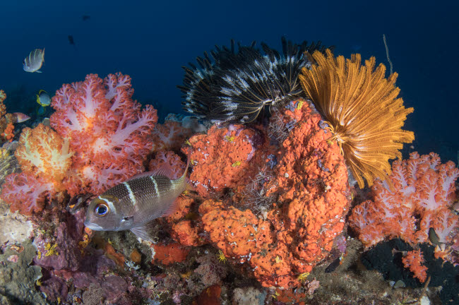 BMU400170U © Stocktrek Images, Inc. Crinoids and soft coral reef scene in Komodo National Park, Indonesia.