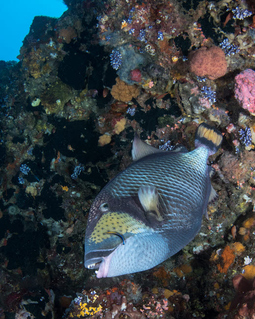 BMU400176U © Stocktrek Images, Inc. Yellowmargin triggerfish being cleaned by a cleaner wrasse.