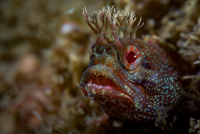 BRP400001U © Stocktrek Images, Inc. A yellowfin fringhead blenny guards its den, Southern California.