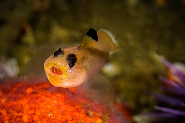 BRP400007U © Stocktrek Images, Inc. Blackeyed goby yawning, Monterey, Central California.