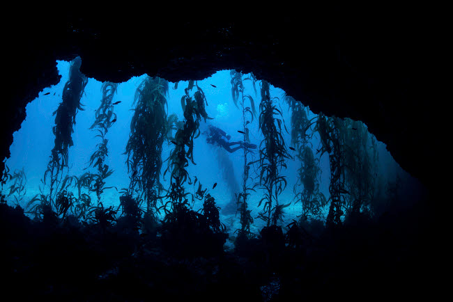 BRP400024U © Stocktrek Images, Inc. A diver swims by the mouth of a cave surrounded by kelp.