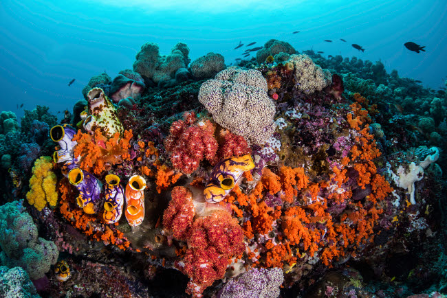BRP400085U © Stocktrek Images, Inc. Sea squirts and soft corals cover a coral bommie in Raja Ampat, Indonesia.