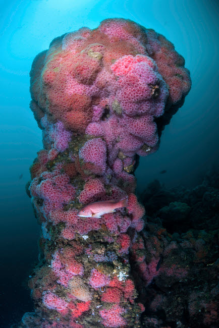 BRP400194U © Stocktrek Images, Inc. A structure on Hawthorne Reef covered with cup coral, Palos Verdes, California.