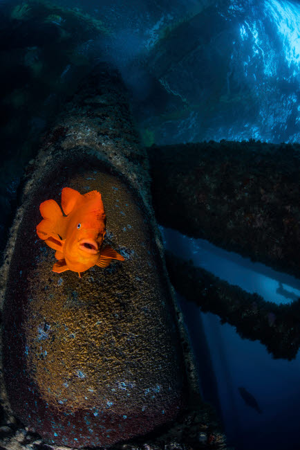 BRP400198U © Stocktrek Images, Inc. A garibaldi guards its nest on an oil rig in Southern California.