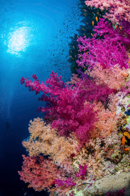 BRP400263U © Stocktrek Images, Inc. Multiple colors of soft corals adorn a reef in the Red Sea.