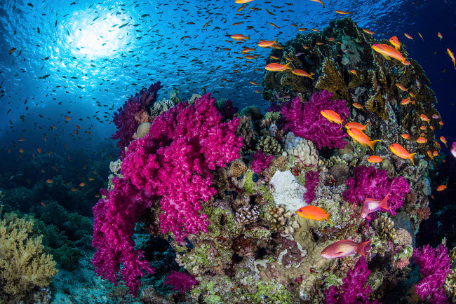 BRP400267U © Stocktrek Images, Inc. School of anthias fish swimming over a coral bommie in the Red Sea.