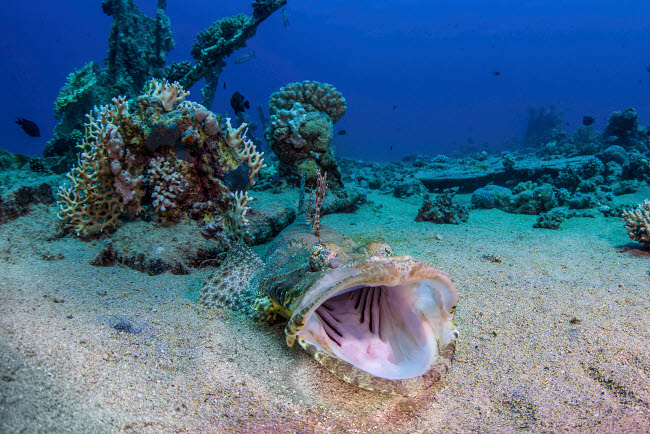 BRP400269U © Stocktrek Images, Inc. A crocodilefish has its mouth wide open in a yawn, Red Sea, Egypt.