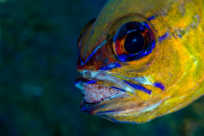 BRU400019U © Stocktrek Images, Inc. Ringtailed cardinalfish with eggs in its mouth, Anilao, Philippines.