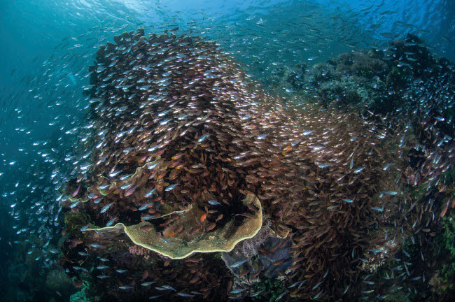 ETH400268U © Stocktrek Images, Inc. A colorful coral reef is covered by sweepers and cardinalfish.