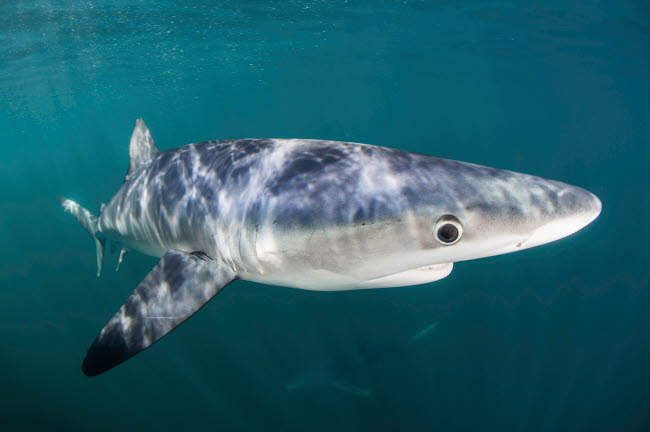 ETH400904U © Stocktrek Images, Inc. A sleek blue shark swimming in the waters off Cape Cod, Massachusetts.