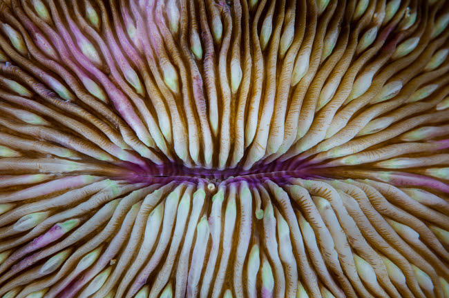 ETH400958U © Stocktrek Images, Inc. Detail of a mushroom coral (Fungia sp.) growing on a reef in Indonesia.