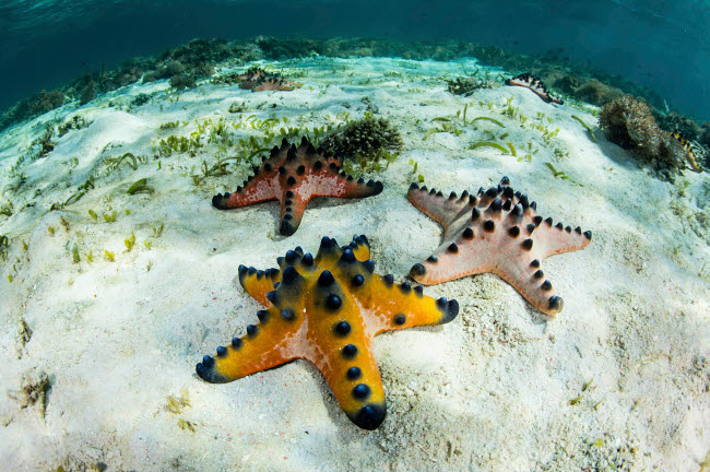 ETH401075U © Stocktrek Images, Inc. Chocolate chip starfish cling to the seafloor in Komodo National Park, Indonesia.
