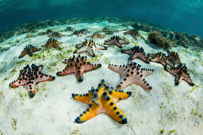 ETH401076U © Stocktrek Images, Inc. Chocolate chip starfish cling to the seafloor in Komodo National Park, Indonesia.