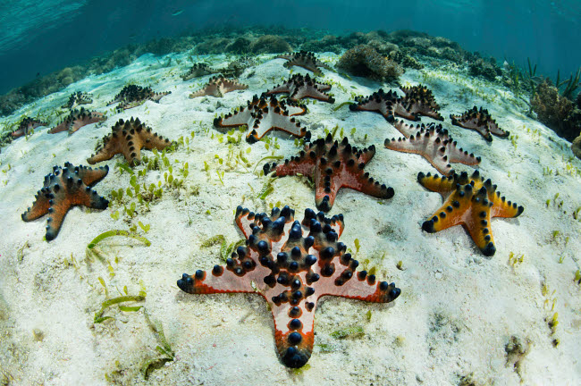 ETH401077U © Stocktrek Images, Inc. Chocolate chip starfish cling to the seafloor in Komodo National Park, Indonesia.