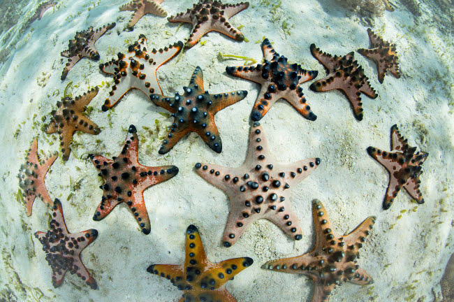 ETH401078U © Stocktrek Images, Inc. Chocolate chip starfish cling to the seafloor in Komodo National Park, Indonesia.