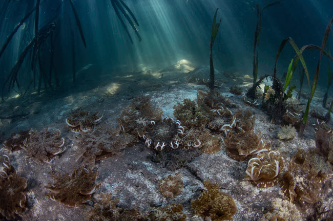 ETH401083U © Stocktrek Images, Inc. Upside-down jellyfish lay on the seafloor of a mangrove forest in Komodo National Park.