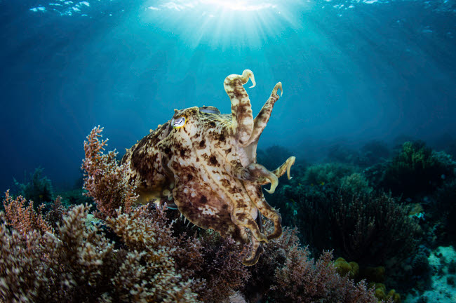 ETH401096U © Stocktrek Images, Inc. A broadclub cuttlefish hovers above a beautiful coral reef in Komodo National Park.
