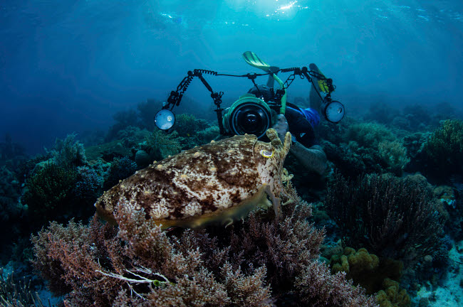 ETH401098U © Stocktrek Images, Inc. A broadclub cuttlefish hovers above a beautiful coral reef in Komodo National Park.