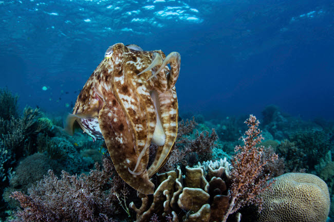 ETH401099U © Stocktrek Images, Inc. A broadclub cuttlefish hovers above a beautiful coral reef in Komodo National Park.