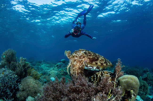 ETH401102U © Stocktrek Images, Inc. A broadclub cuttlefish hovers above a beautiful coral reef in Komodo National Park.