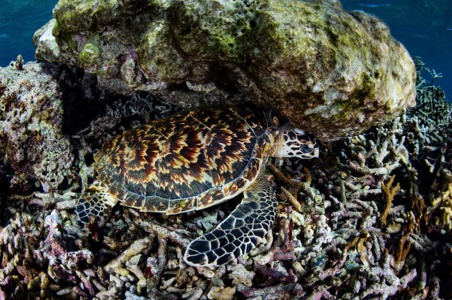 ETH401106U © Stocktrek Images, Inc. A young hawksbill sea turtle resting in Komodo National Park, Indonesia.