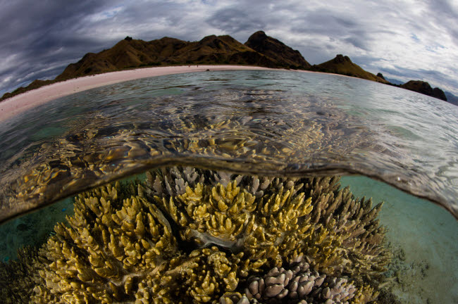 ETH401155U © Stocktrek Images, Inc. A large colony of soft coral grows in shallow water in Komodo National Park.