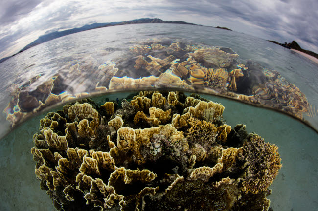 ETH401156U © Stocktrek Images, Inc. Fire coral grows in the shallows of Komodo National Park, Indonesia.