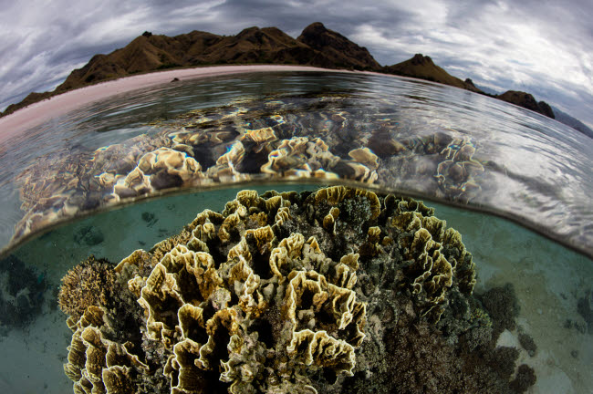 ETH401157U © Stocktrek Images, Inc. Fire coral grows in the shallows of Komodo National Park, Indonesia.