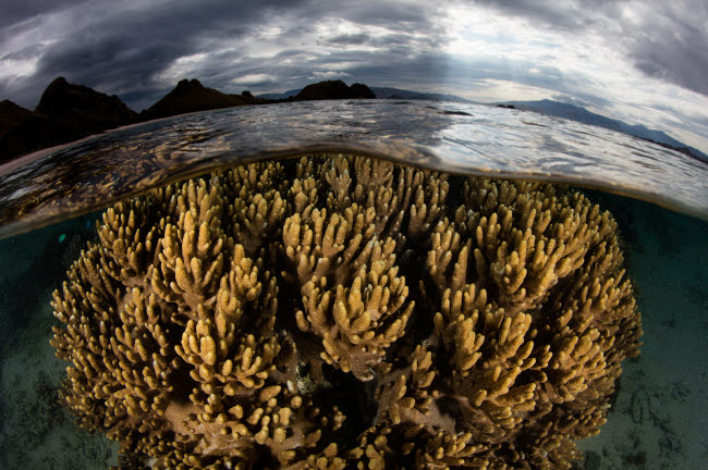 ETH401158U © Stocktrek Images, Inc. A large colony of soft coral grows in shallow water in Komodo National Park.