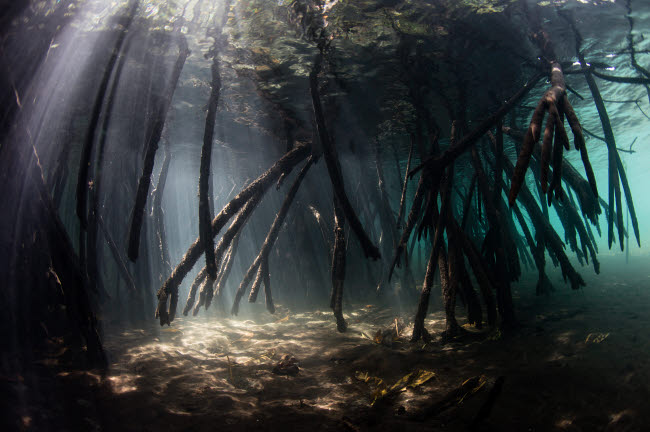 ETH401419U © Stocktrek Images, Inc. Bright sunlight filters through a mangrove forest in Raja Ampat, Indonesia.