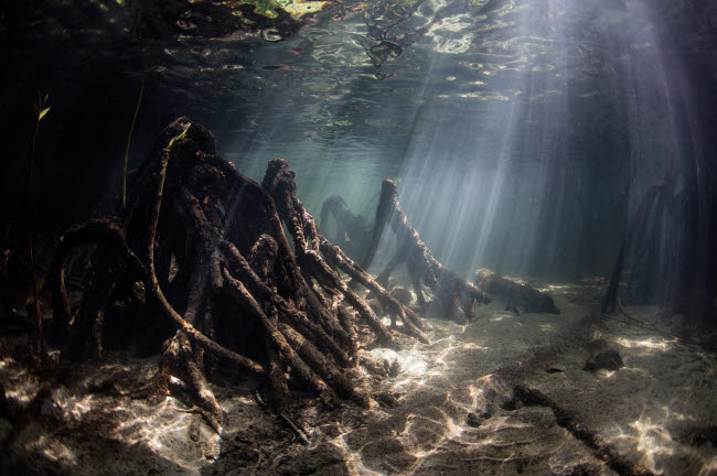 ETH401423U © Stocktrek Images, Inc. Bright sunlight filters through a mangrove forest in Raja Ampat, Indonesia.