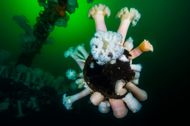 JDL400071U © Stocktrek Images, Inc. Giant plumose anemones on a wreck structure in Puget Sound, Washington.