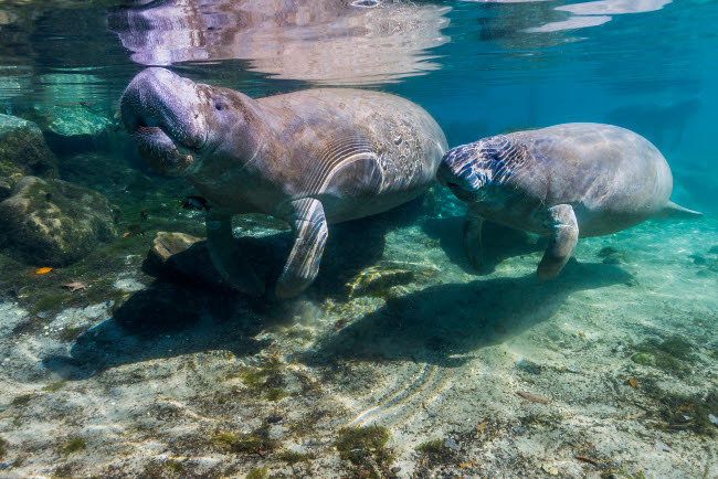 JDL400175U © Stocktrek Images, Inc. Manatee with calf in Crystal River, Florida.
