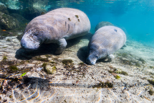 JDL400176U © Stocktrek Images, Inc. Manatee with calf in Crystal River, Florida.