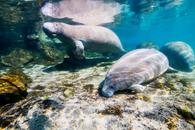 JDL400177U © Stocktrek Images, Inc. Manatee with calf in Crystal River, Florida.