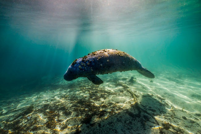 JDL400178U © Stocktrek Images, Inc. Manatee in Crystal River, Florida.